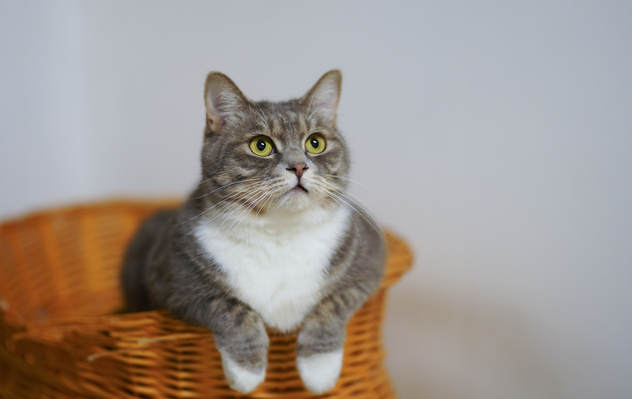 white-and-gray-cat-in-brown-woven-basket