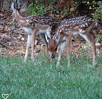 fawn pair.png