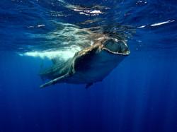 Whale Shark, Quintana Roo, México