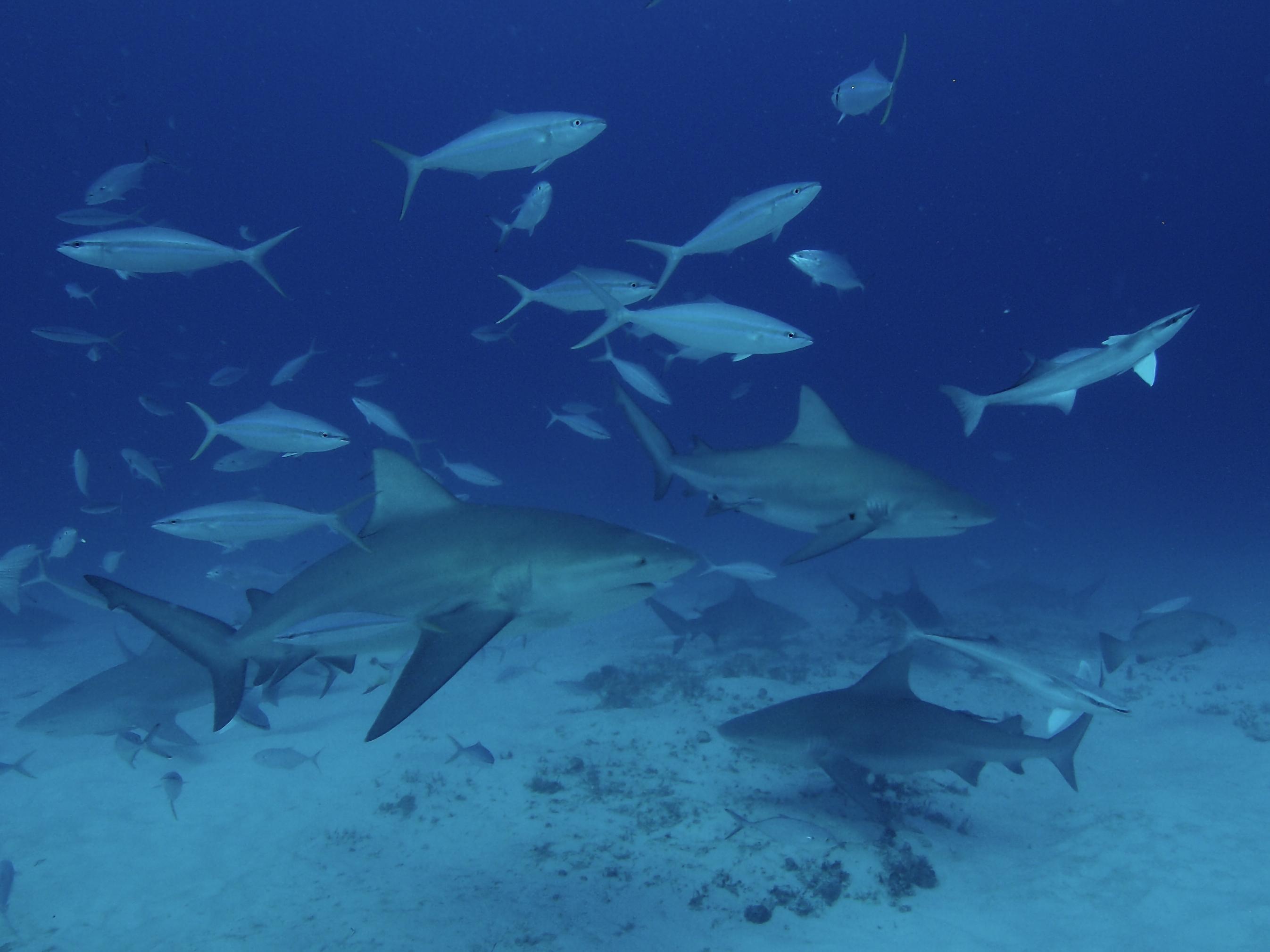 Bull Sharks, Playa del Carmen, Mex
