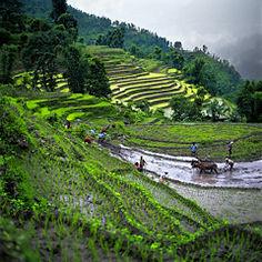 travail dans la rizière - Népal.jpg