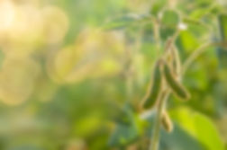 Soybean plant.jpg