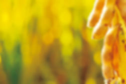 Soybean plant golden.jpg