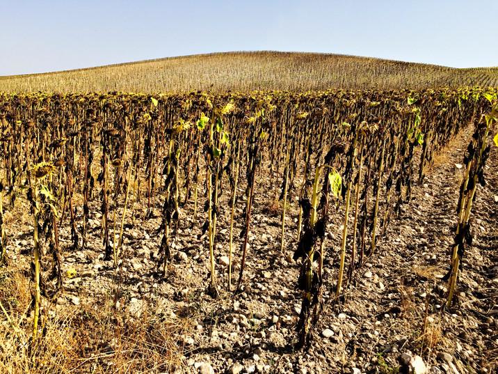 Spain sunflowers