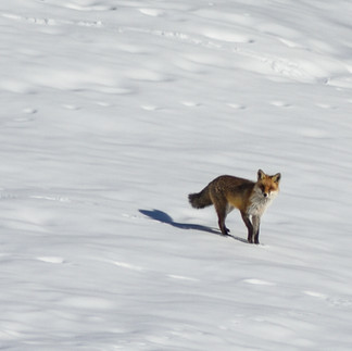 Fuchs hält Ausschau