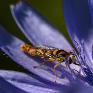 Insekt in Blume