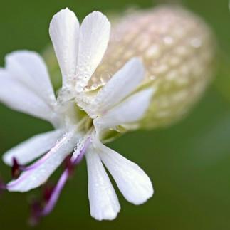 Wassertropfen in Blume