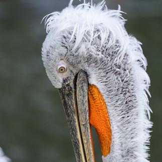 Verdrehter Pelikan