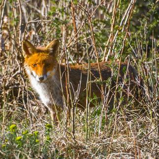Neugierige Fuchsdame