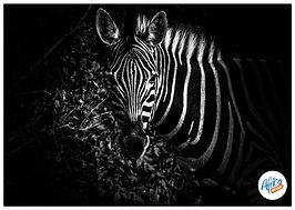 Zebra, African zebra