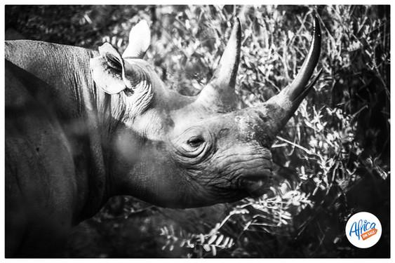 Rhino-Black 2