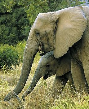 Elephant_Mum&babe.jpg