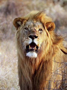 LionBG_edited.jpg