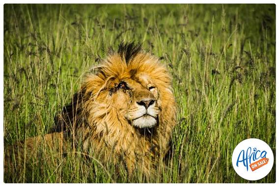 Lion-battle