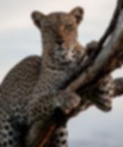 leopard1(CMP).jpg