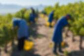 jordan-winery-hand-harvesting.jpg