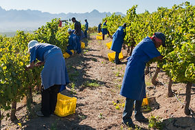 jordan-winery-hand-harvesting.jpg