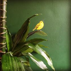 Gele zanger (yellow warbler)