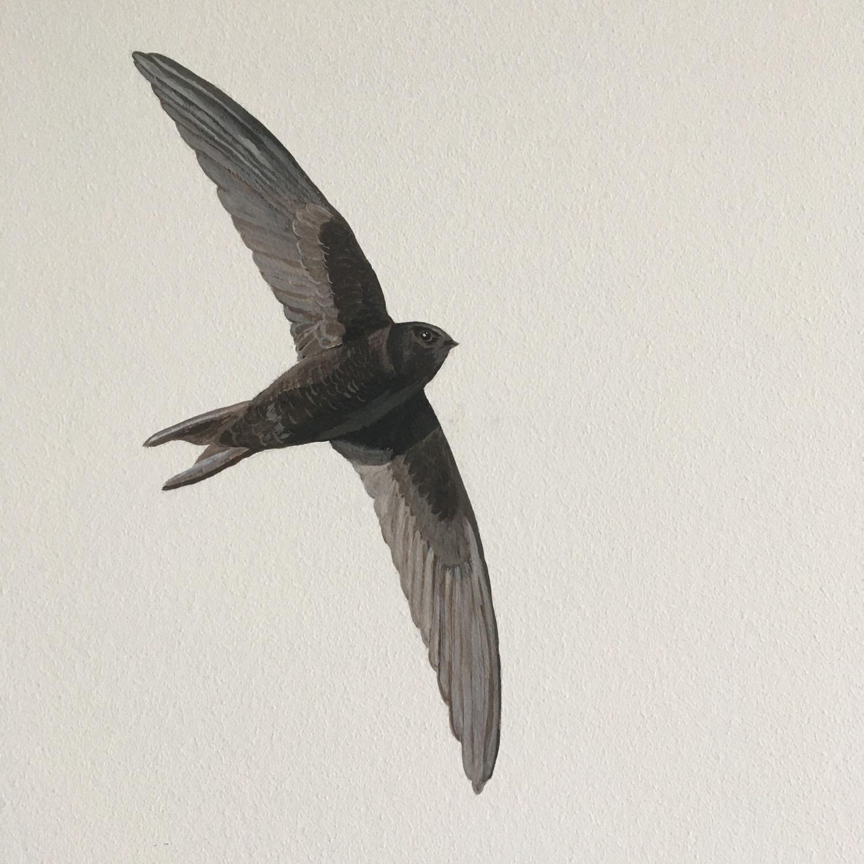 Gierzwaluw in vlucht