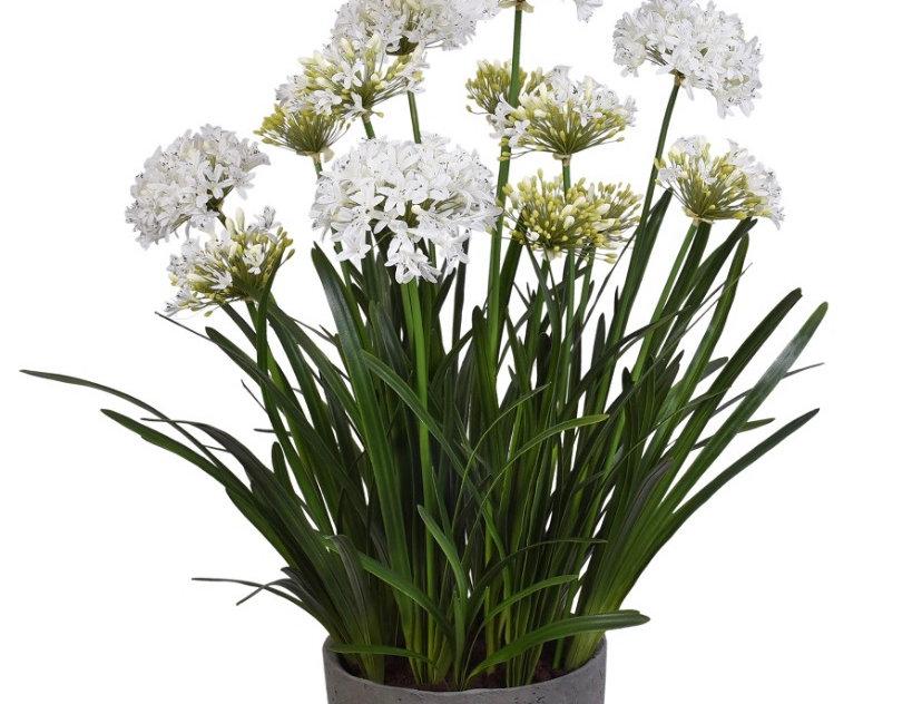 Fleurs Agapanthe double