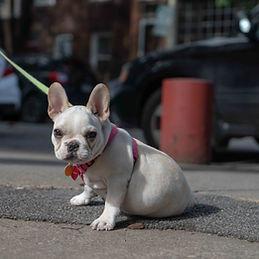 Walking a dog in Philadelphia