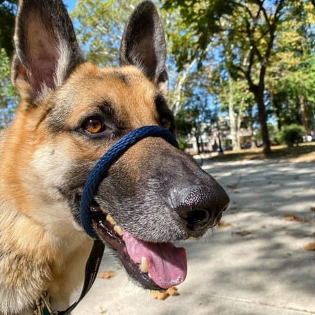 Stop Dogs From Pulling On Leash--Using Harnesses and Head Halters