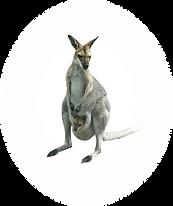 Kangaroo1.png