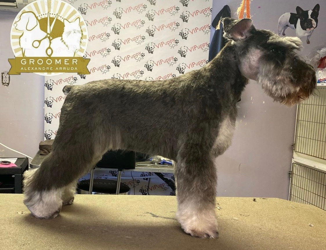 "Miniature Schnauzer ""after"" grooming photo"