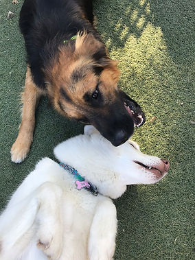 Two dogs playing together in the grass at doggie daycare
