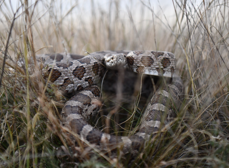 Rattlesnake Bite Prevention, Treatment, & Protocol For Your Pets