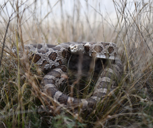 Rattlesnake Bite Prevention for Dogs in Mission Trails San Diego Cuyamaca Animal Hospital Veterinarian