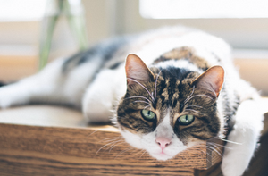 Cat Arthritis What Do I Do Cuyamaca Animal Hospital Veterinarian Santee