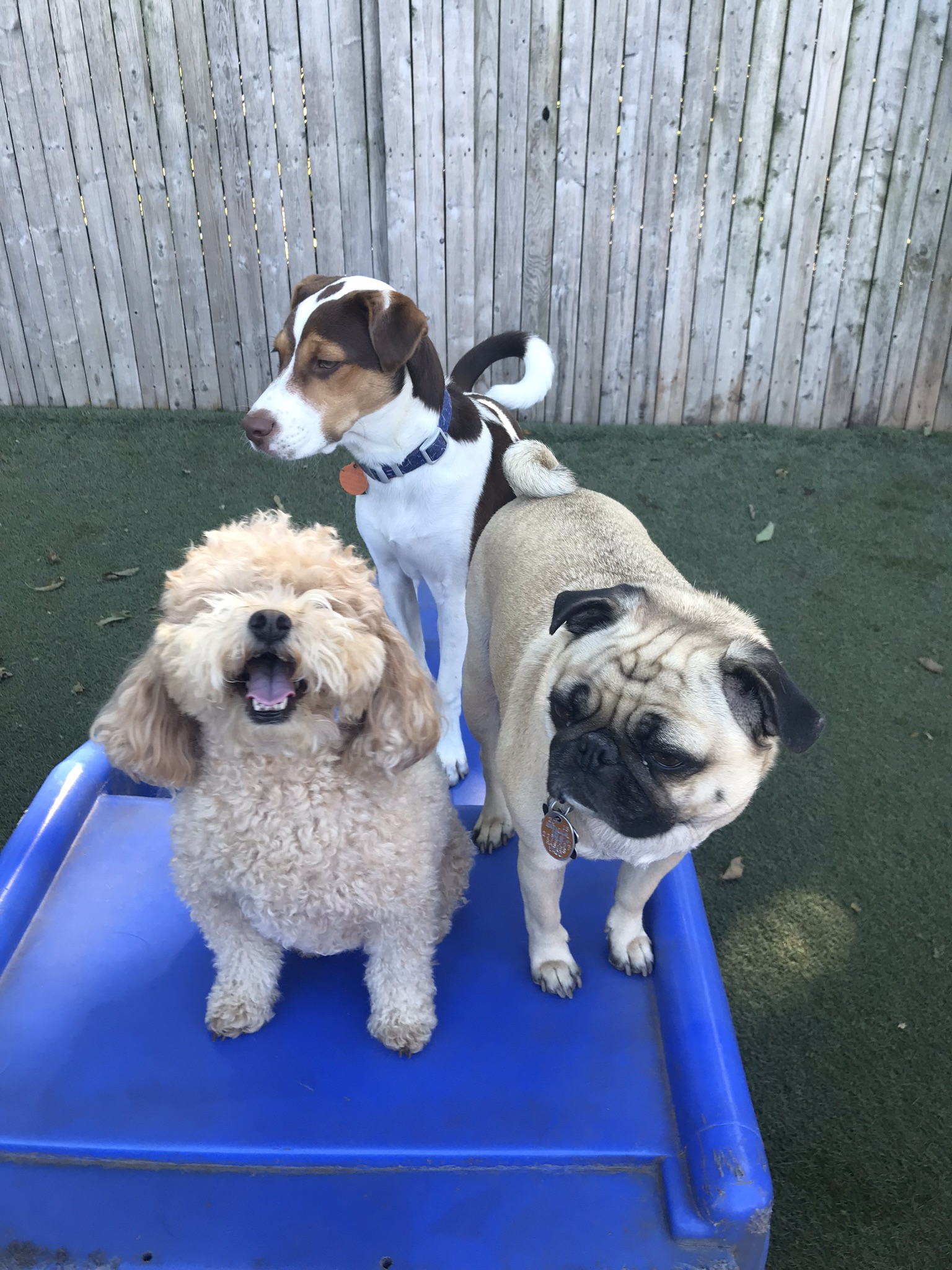 Three dogs during playtime at outdoor play facility