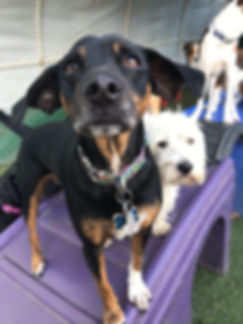 Multiple dogs outside daycare facility playing together