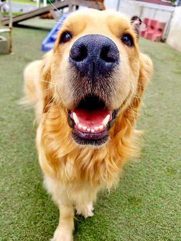 Up close shot of golden retriever's face and nose into camera at doggie daycare facility