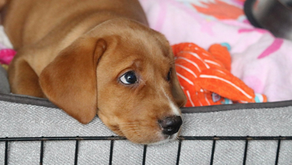 Crate Training Your Dog: Benefits and Best Practices