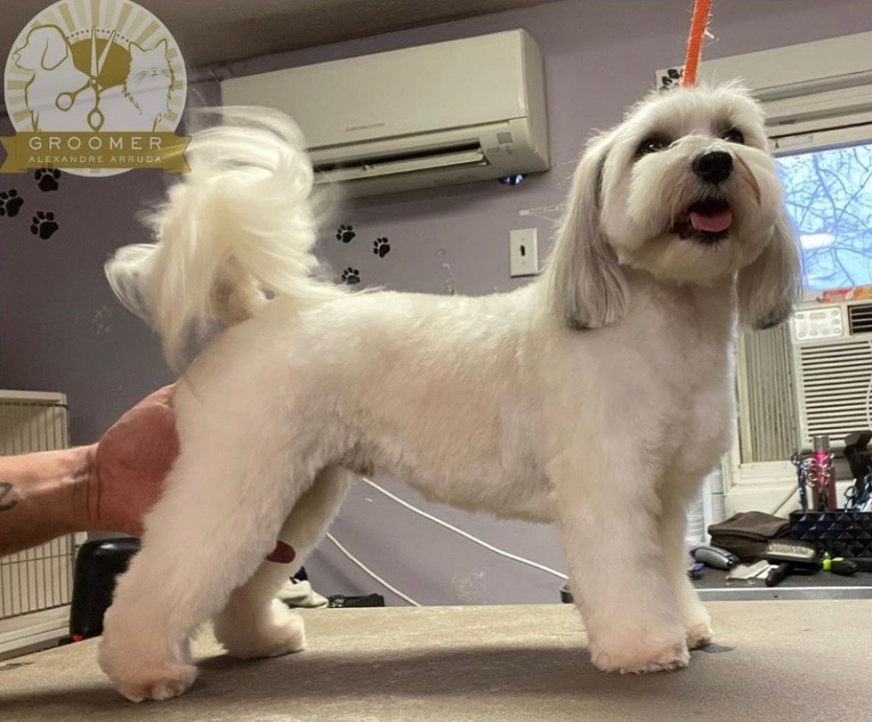 Clean and happy maltese dog after grooming and bathing service