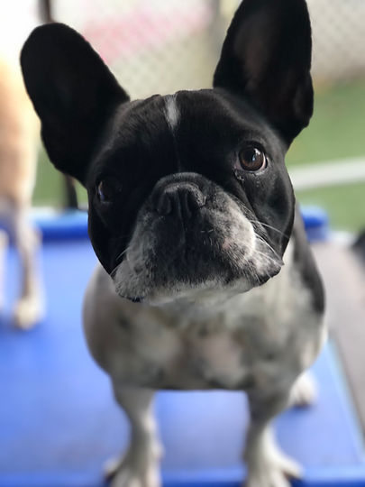 Small black and white french bulldog at VIPuppy Spa daycare in Summit, NJ