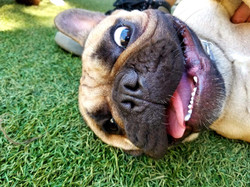 VIPuppy Spa Boarding's happy dog lying in grass with tongue hanging out