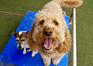 Golden doodle smiling at the camera with smaller dog alongside them