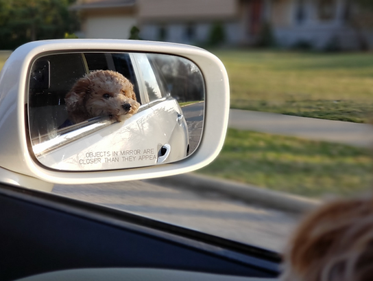Dog sitting with head out the side car window during Pet Waggin' pet taxi ride