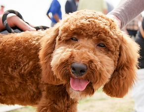 Golden doodle eyes open smiling while being pet by two people