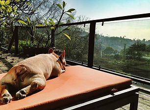 French bulldog lounging on top of a building overlooking Los Angeles