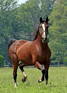 SRF Stock Horse Photo