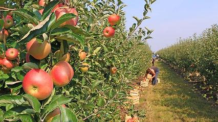 fruit picking 1.jpg