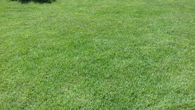 planta para telhado verde extensivo grama esmeralda