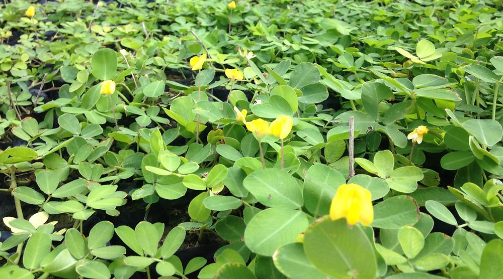 planta para telhado verde extensivo grama amendoim