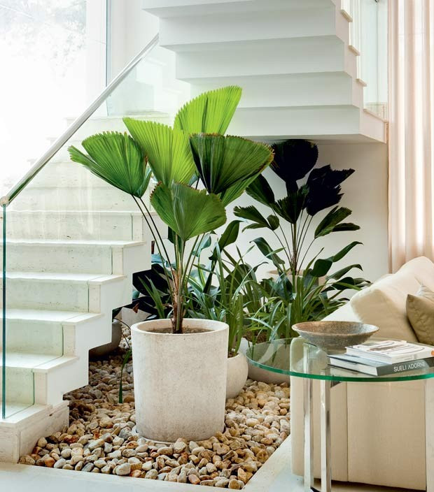 Palmeira Leque em Apartamento