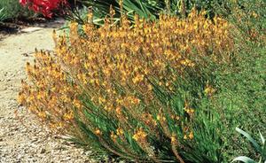 planta para telhado verde extensivo bulbine