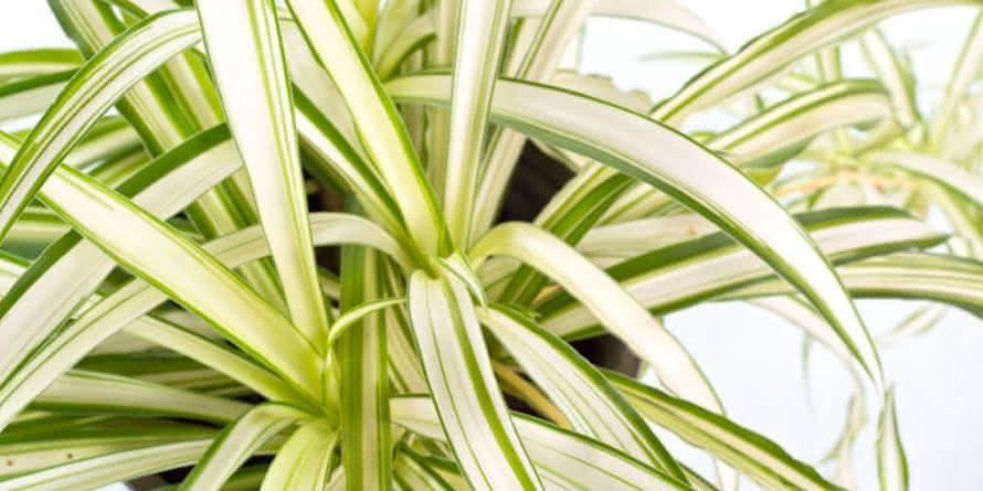 Plantas para Escritórios Clorofito